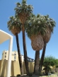 Lots of palms in Palm Springs